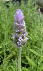 Lavender French Gray Herb Plants