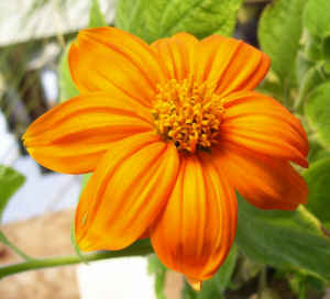 Mexican Sunflower Annual Flower