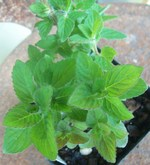 Candied Fruit Mint Herb Plants