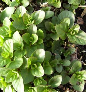 Orange Mint Herb Plants