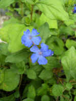 Blue Plumbago Ground Cover