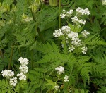 Sweet Cicely Culinary Herb Plant