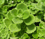 Spanish Thyme Cuban Oregano Herb Plants